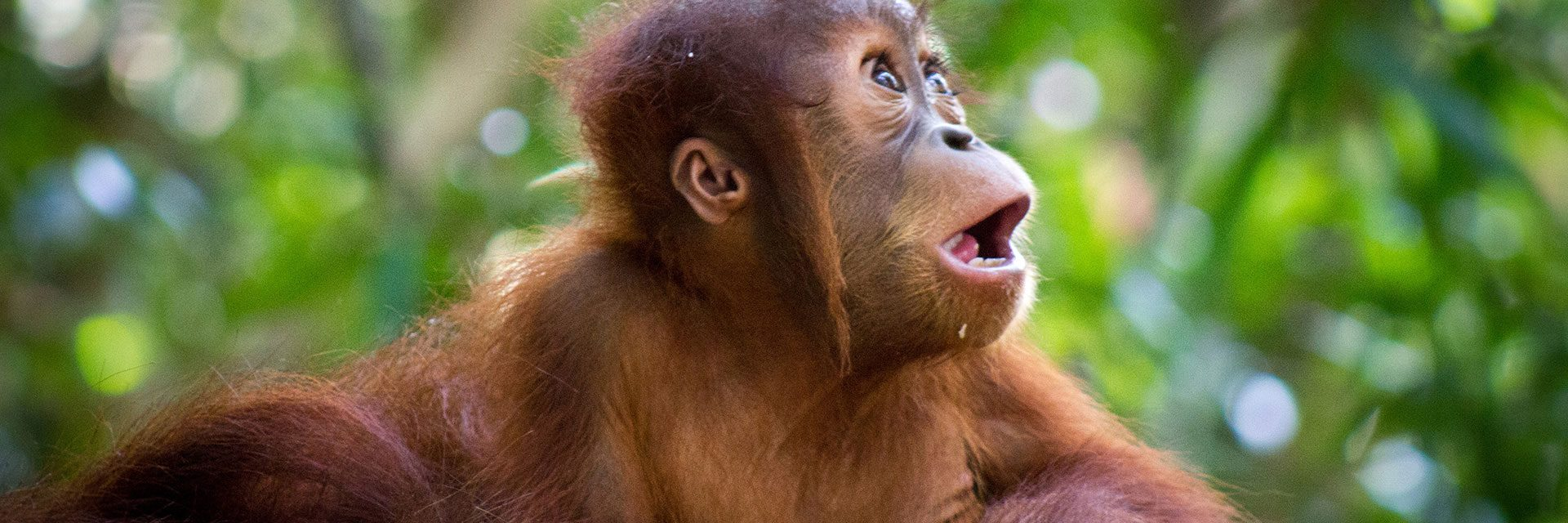 Baby orang oetan in de jungle van Sumatra