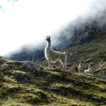 Lama in the Apolobamba range, Bolivia - Pic: Rens de Wild