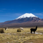 Lamas and Parinacota volcano in Sajama NP, Bolivia